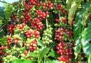 Período da colheita do café se aproxima e Secretaria de Agricultura orienta produtores