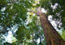 Curiosidades: A maior árvore do Brasil foi descoberta em 2019